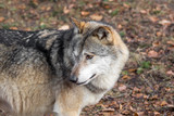 The head of a wolf from the side - 223138242