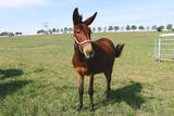 brown horse foal at pasture - 223142685