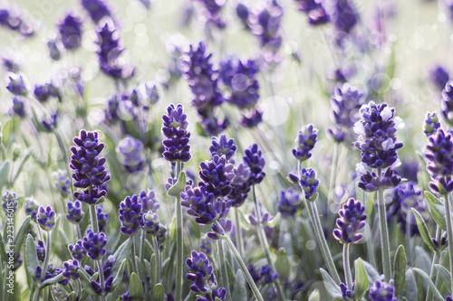 lavender flowers - 223146015