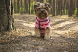 The cute yorkshire terrier walking in the forest. - 223146401