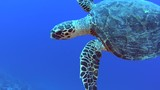 Red Sea hawksbill turtle eretmochelys imbricata swimming underwater on coral reef wall in tropical ocean - 223148024