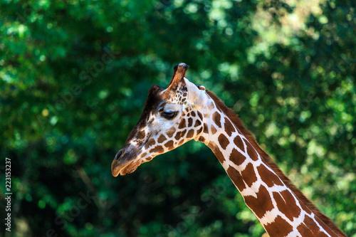 Fototapeta portrait of a giraffe