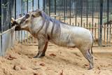 Very cute and curious common warthog (Phacochoerus africanus) seen from the side - 223154227