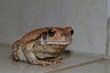 Natal sand frog close up