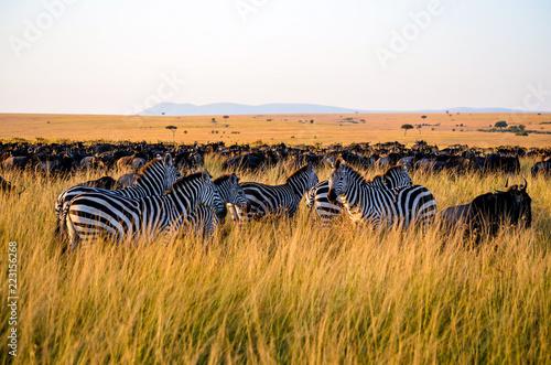 Fototapeta Herd of Zebras in Masai Mara