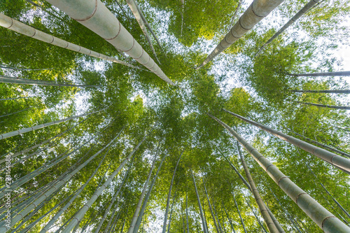 Fototapeta Japanese bamboo forest in arashiyama kyoto japan