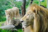 Pair of adult Lions in zoological garden - 223166409