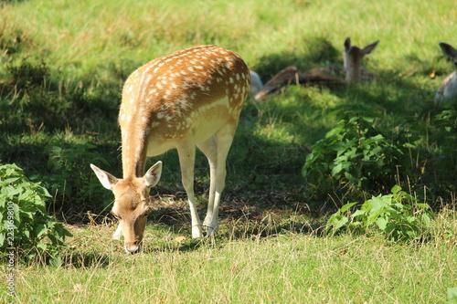 Fototapeta Deer In A Pasture
