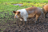 Beautiful side view of a brown and white pig (sus scrofa) outdoors at a petting zoo in the Netherlands - 223170043