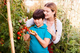 Little boy with female gardener looking to harvest of tomatoes in   hothouse - 223173403