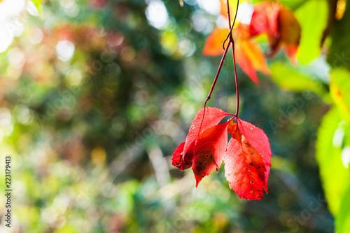 red leaves of Virginia creeper illuminated by sun