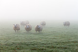 Flock of sheep early in the morning grazing in the autumn fog in the Netherlands - 223185814