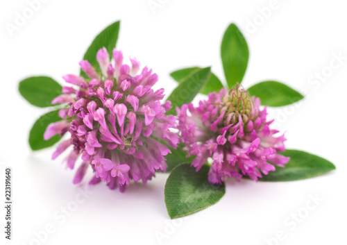 Pink clover flowers. - 223191640