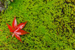 red maple leaf drop on moss wet moist in rain forest autumn season with space for text