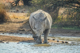 A cute white bull rhino drinking water in Makorwane dam hide in PIlanesberg north west province south africa - 223206291