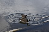 Canada geese goose water ring - 223208693