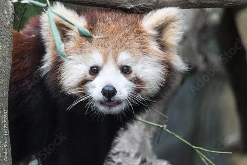 Fototapeta Roter Panda