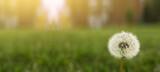 Dandelion on a green sunny meadow. Sunlight.