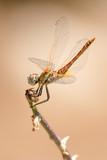 Dragonfly - 223220841