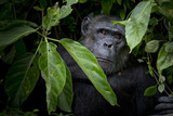 Gorilla hide and look straight behind tree. - 223220890