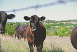 Cute Black Angus calf on cattle farm, shows cow in background.