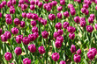 Beautiful tulips in a Dutch landscape. Photographed from different positions
