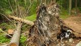 small dog digging at big fallen tree - 223252272