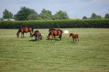 Thoroughbred horses grazing on a Kentucky horse farm
