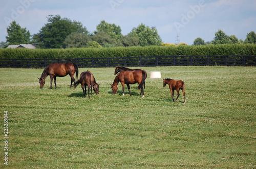 Thoroughbred horses grazing on a Kentucky horse farm