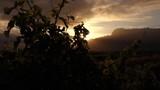 Vineyard during sunrise - 223285436