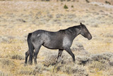 A Grey mare from the Pryor Mountain wild horse herd grazing in the Big Horn Basin area in Montana. - 223290602