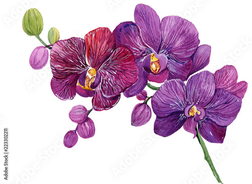 Fototapeta Purple Orchid branch. Watercolor hand painting. Isolated flower on white background