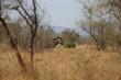 Zebra im Kruger-Nationalpark in Südafrika