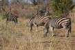 Zebras im Kruger-Nationalpark in Südafrika