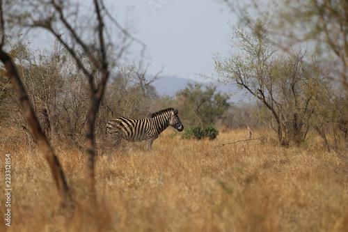 Fototapeta Zebra im Kruger-Nationalpark in Südafrika