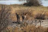 Geparden im Kruger-Nationalpark in Südafrika - 223313277
