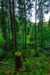Some vertically photographed trees in the Black Forest / Schwarzwald, Germany.