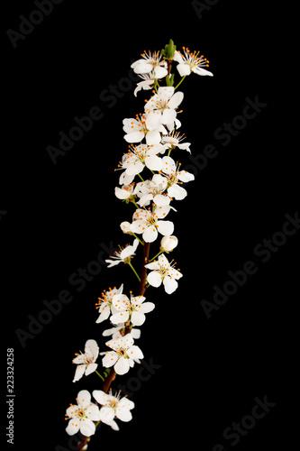 Fototapeta white cherry flowers on a branch on a black background
