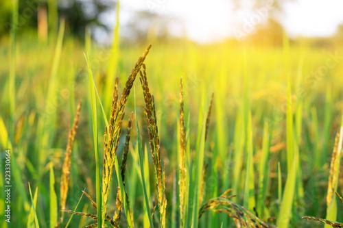 Leinwandbild Motiv Rice field in the morning with the sun shining through.