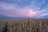 Wheat field at sunrise - 223339826