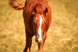 .Foal in portrait in the sunshine on the pasture. - 223354670