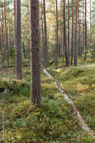 Otwarty las sosnowy w Finlandii