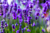 Young shoots of lavender - 223364270