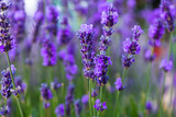 Young shoots of lavender - 223364271