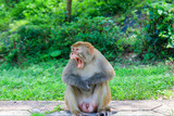 Angry Wild Monkey At Kam Shan Country Park In Hong Kong - 223368814