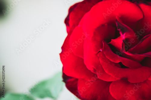 Zamknij się w sercu czerwona róża