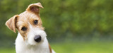 Funny head of a happy cute jack russell puppy pet dog - web banner idea
