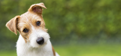 Funny head of a happy cute jack russell puppy pet dog - web banner idea © Reddogs
