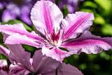 close-up, purple Oh La La clematis flowers and pistils - 223375821