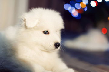 Samoyed puppy. Sitting samoyed dog with Christmas decorations on background